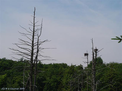 Nesting herons, Mont Orford Park, Quebec, in the Eastern Townships