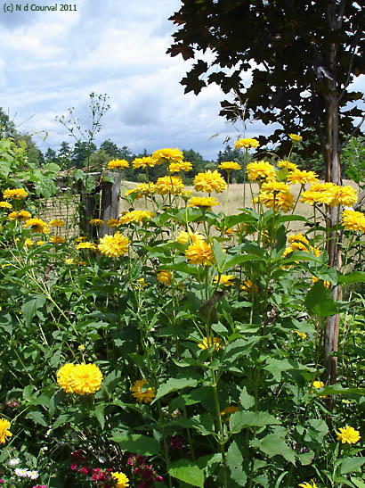 Flowers on ancestral land, Middlebury, Vermont