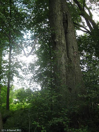 Deep woods near Breadloaf School of English, Vermont